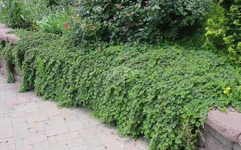 Creeping Raspberry - 1 Gallon - Rubus - Creeping Raspberry | ToGoGarden