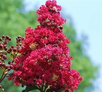 Holly Lane Crape Myrtle - Lagerstroemia hybrid 'Holly Lane'