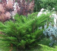Sea Green Juniper - Juniperus x pfitzeriana 'Sea Green'
