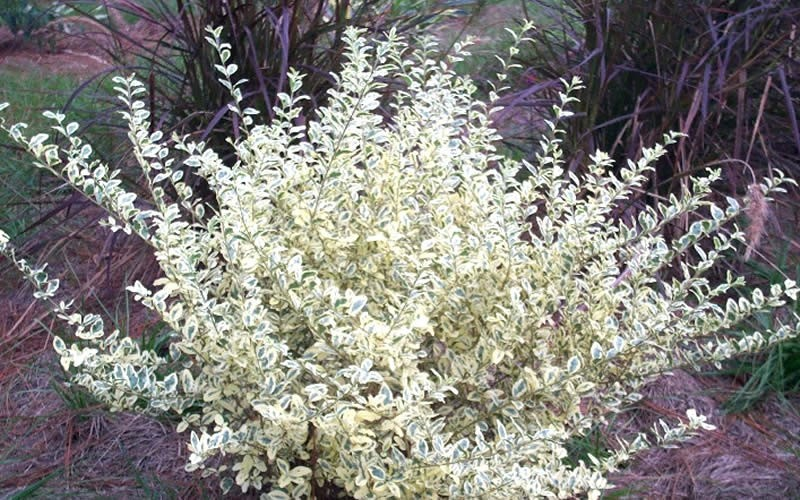 Variegated Privet - Ligustrum sinense 'Variegata' - 1 Gallon - Shrubs for Spring Color | ToGoGarden