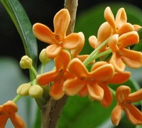 Fragrant Orange Tea Olive - Osmanthus fragrans aurantiacus