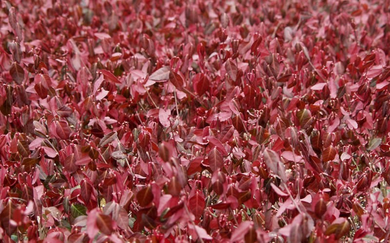 "Coloratus Purple Winter Creeper - 18 Count Flat of 4"" Pots - Euonymus - Wintercreeper 