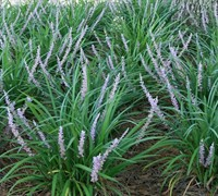 Liriope muscari 'Big Blue' - Big Blue Liriope / Monkey Grass