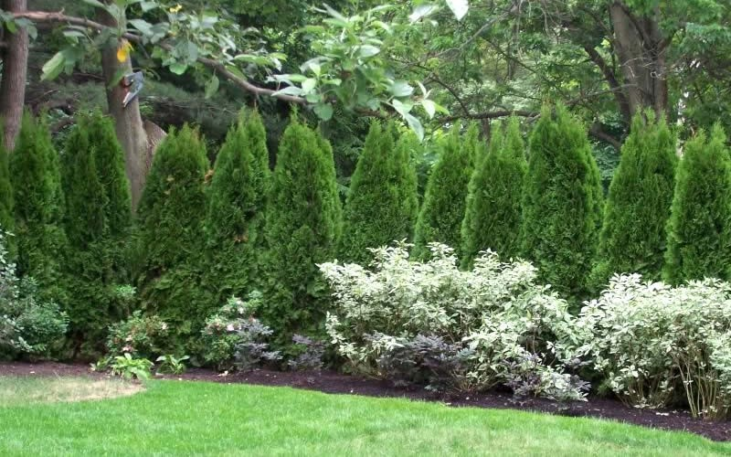 Emerald Green Arborvitae - Thuja occidentalis 'Emerald Green'