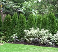 Shop Emerald Green Arborvitae - 1 Gallon