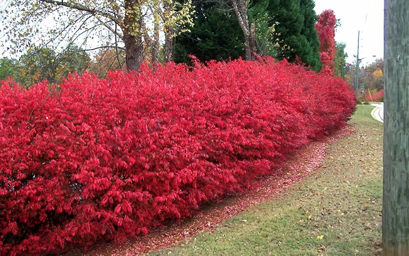Dwarf Burning Bush - Euonymus alatus 'Compacta' Photo 4