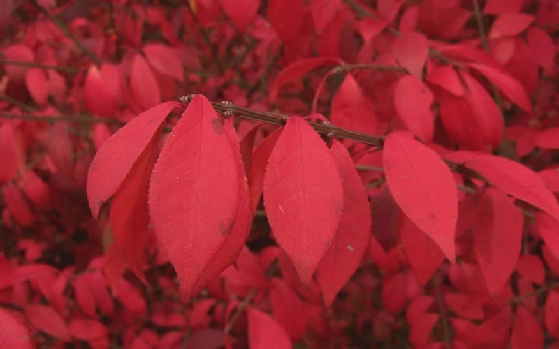 Dwarf Burning Bush - Euonymus alatus 'Compacta' Photo 3