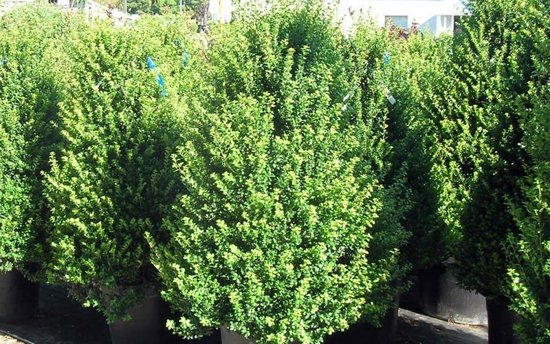 Steeds Holly - 1 Gallon - Deer Resistant Shrubs | ToGoGarden