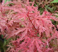 Beni Komache Dwarf Japanese Maple
