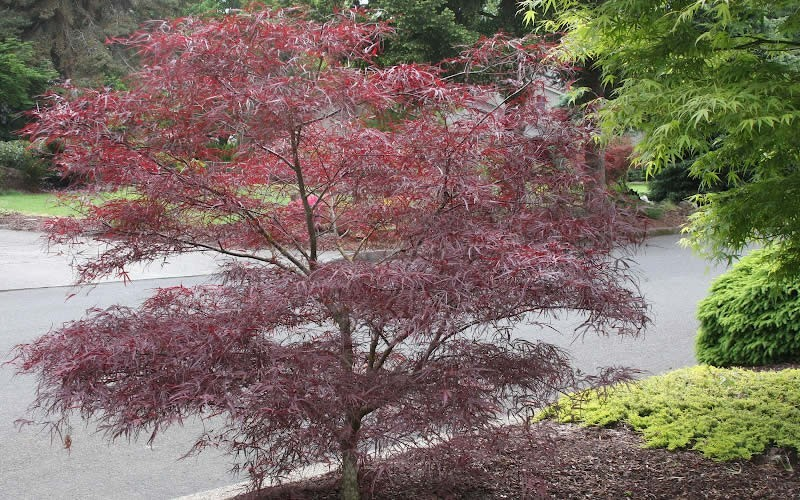 Enkan Japanese Maple Photo 2