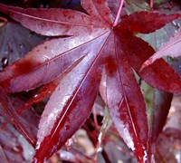 Shop Fireglow Japanese Maple - 3 Gallon