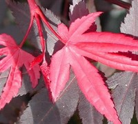 Shop Hefner's Red Japanese Maple - 2 Gallon