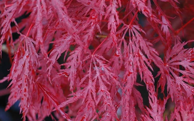 Inaba Shidare Japanese Maple - 2 Gallon - 18-24