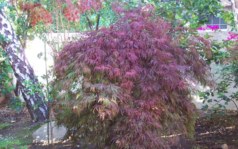 Inaba Shidare Japanese Maple Photo 5