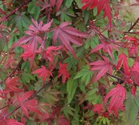 Kandy Kitchen Japanese Maple