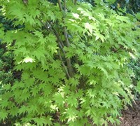 Shop Moonrise Full Moon Japanese Maple - 3 Gallon