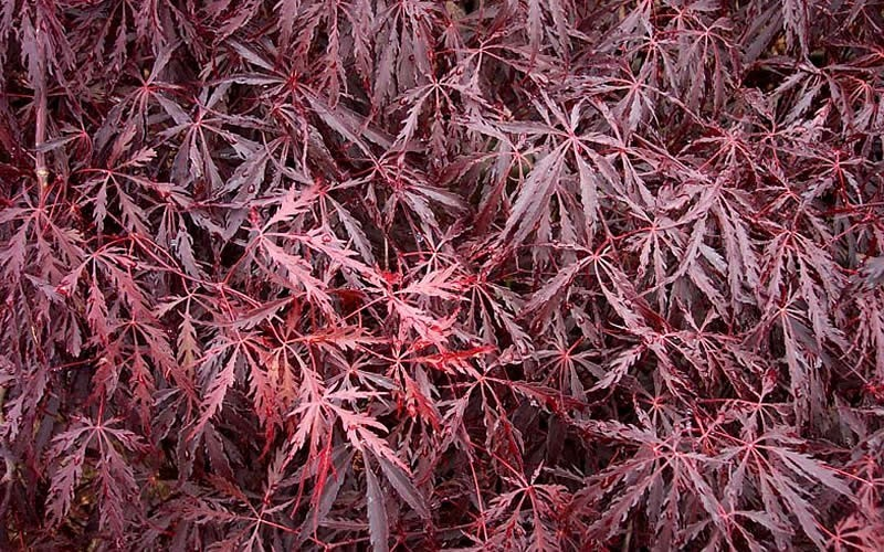 Tamukeyama Japanese Maple - 2 Gallon Pot - 36-40