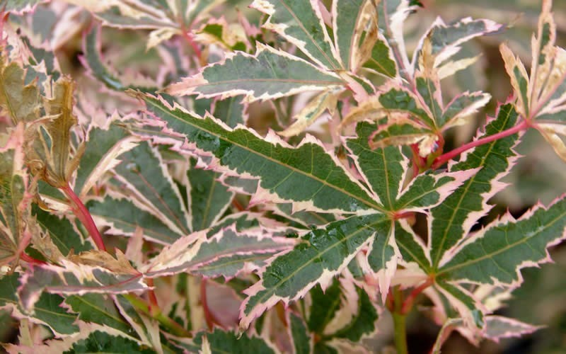 Variegated Japanese Maple Tree Garden Inspiration