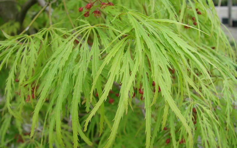 Viridis Japanese Maple 3 Gallon Tree Japanese Maples Green