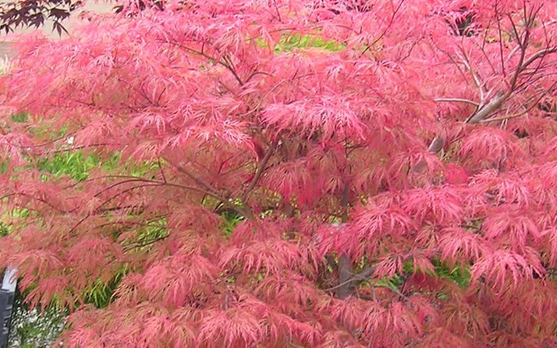 Watnong Japanese Maple - 3 Gallon - Japanese Maples | ToGoGarden