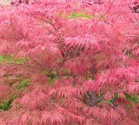 Watnong Japanese Maple