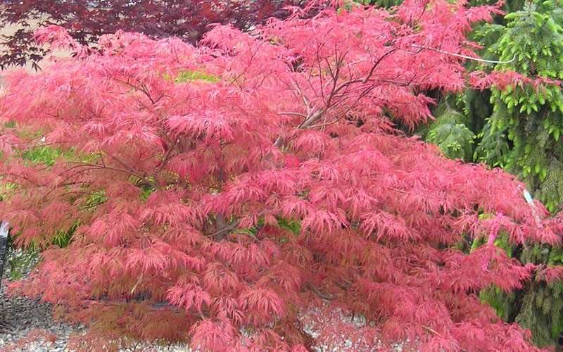 Watnong Japanese Maple Photo 3