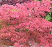 Shop Watnong Japanese Maple - 3 Gallon