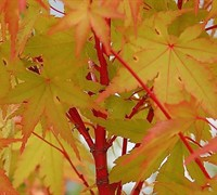 Winter Flame Japanese Maple