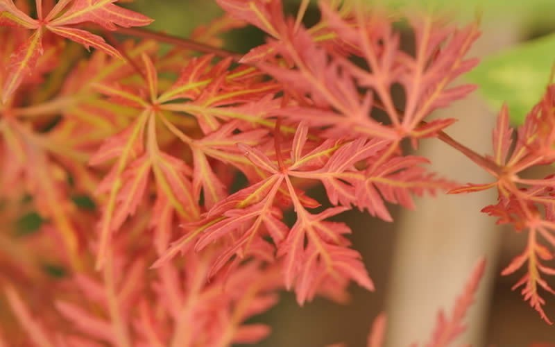 Orangeola Japanese Maple Photo 1