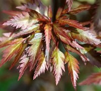 Beni Hagoromo Japanese Maple