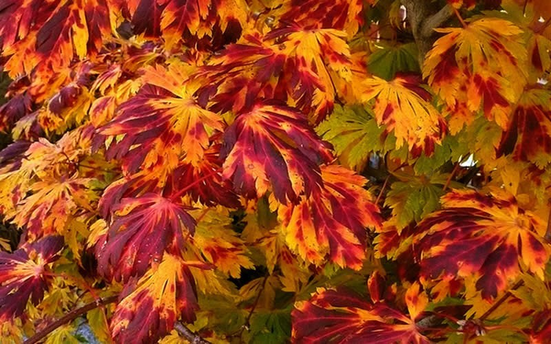 Dancing Peacock Full Moon Japanese Maple - 2 Gallon - Rare Finds | ToGoGarden