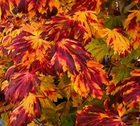 Shop Dancing Peacock Full Moon Japanese Maple - 2 Gallon