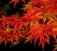 Glowing Embers Japanese Maple