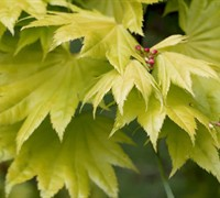 Jordan Full Moon Japanese Maple