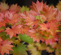 Palmatifolium Full Moon Japanese Maple