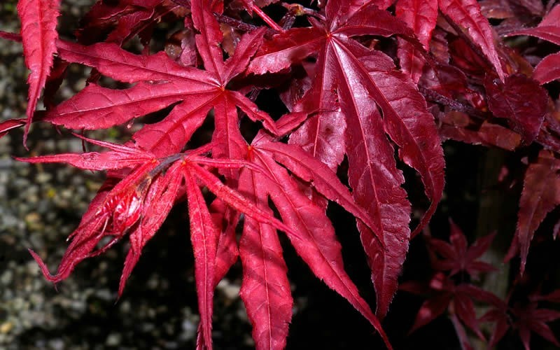 Red Emperor Japanese Maple 3 Gallon 24 30 Ht Tree Japanese