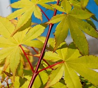 Shop Summer Gold Japanese Maple - 2 Gallon