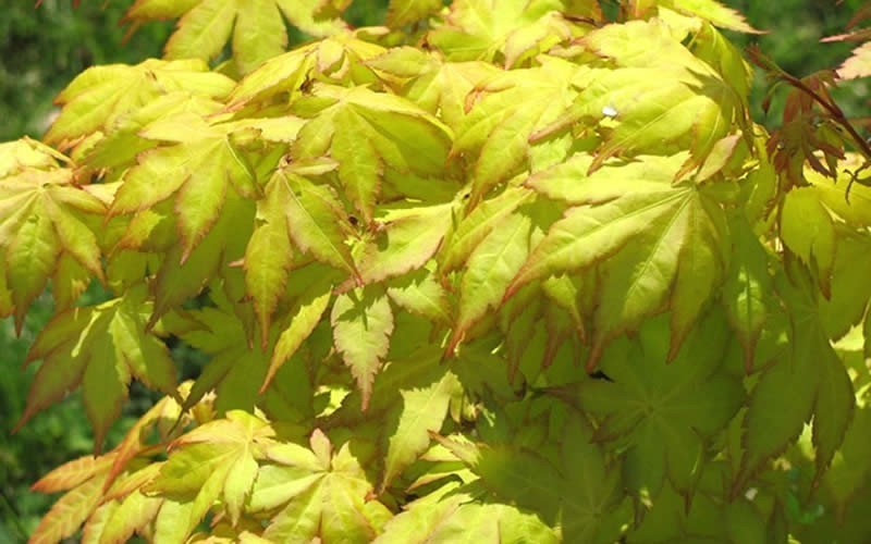 Buy Summer Gold Japanese Maple Plants Online 3 Gallon Gardener