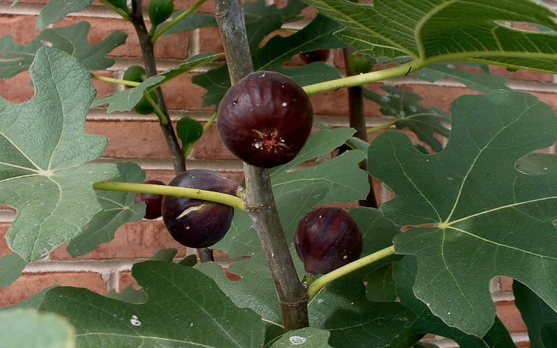 Chicago Cold Hardy Fig - 1 Gallon - Fruit Plants | ToGoGarden
