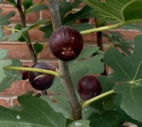 Chicago Cold Hardy Fig