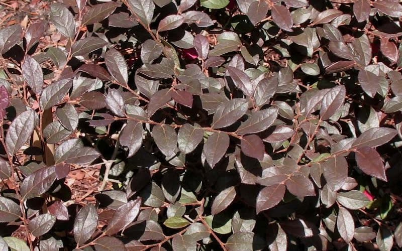 Daruma Dwarf Loropetalum Photo 2