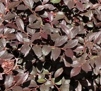 Shop Daruma Dwarf Loropetalum - 3 Gallon