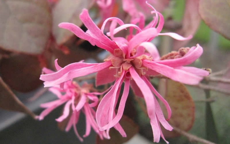 Daruma Dwarf Loropetalum - 3 Gallon - Shrubs for Spring Color | ToGoGarden