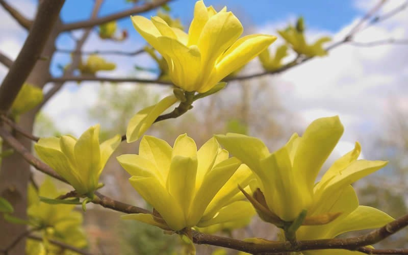 Erflies Yellow Magnolia