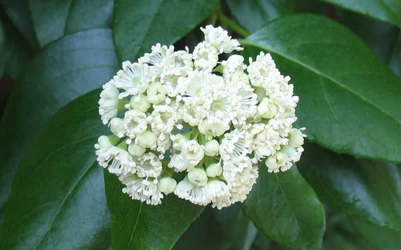 Native Climbing Hydrangea - Decumaria barbara - 3 Gallon - Flowering Vines | ToGoGarden