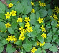 Chrysogonum virginianum - Green And Gold