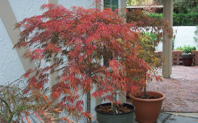 Crimson Queen Japanese Maple  Photo 6
