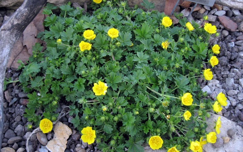 "Potentilla Neumanniana 'Nana' - Cinquefoil - 10 Count Flat - 4.5"" Pots - Toe Ticklers / Stepable Plants 