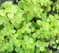 Ogon Golden Japanese Stonecrop