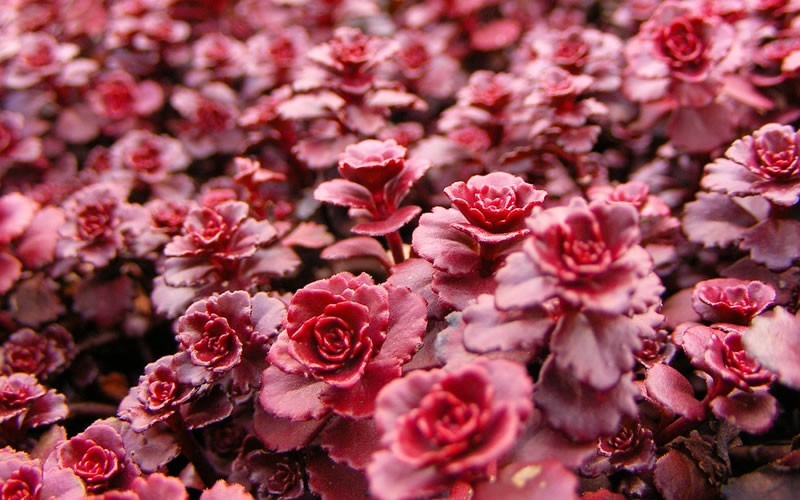 Buy Sedum Spurium Dragons Blood Dragon S Blood